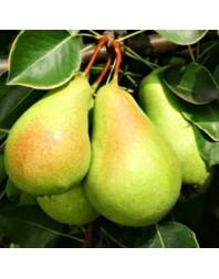 Peral variedad Ercolini