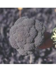 Bróculi Serydan F1, 10000 semillas