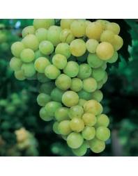 Parra variedad Moscatel Blanco