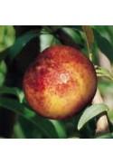 Nectarino variedad Snowqueen