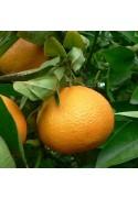 Mandarino híbrido variedad Ortanique