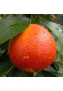 Naranjo variedad Sanguinelli