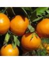 Clementina variedad Clemenules