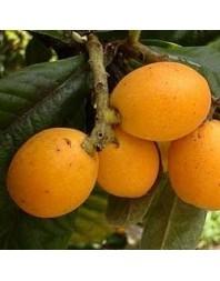 Níspero variedad Argelino