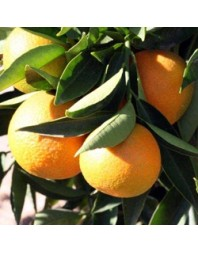 Clementino variedad Hernandina