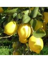 Limonero variedad Verna
