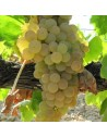 Parra variedad Moscatel Romana