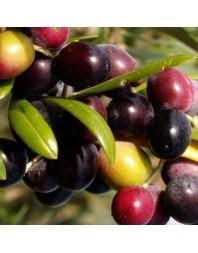 Olivo variedad Arbequina