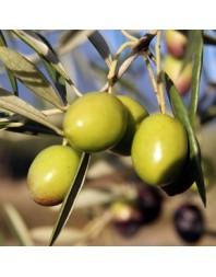 Olivo variedad Manzanilla