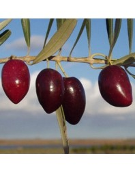 Olivo variedad Picual
