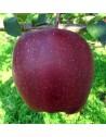 Plantones de manzano
