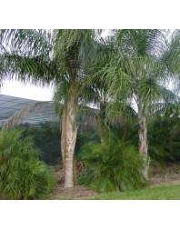 palmera Syagrus romanzoffiana