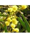 Acacia cyanophylla flor