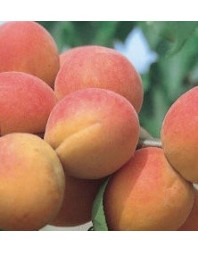 Albaricoquero variedad Paviot