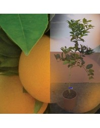 Naranjo variedad Navelina 3 años