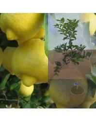 Limonero variedad Eureka 3 años