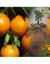 Clementina variedad Clemenules 3 años