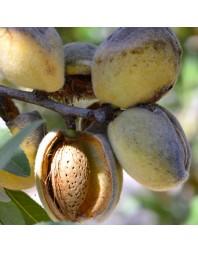 Almendro variedad Guara (planta agricultor)