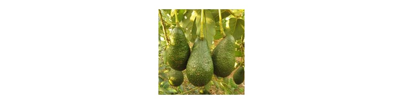 Comprar frutales tropicales plantas frutales para huerto for Tipos de viveros frutales