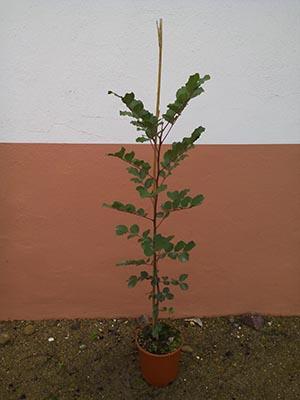 Plantón de algarrobo en el mes de febrero