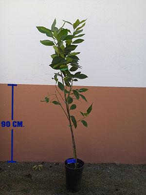 Plantón de naranjo