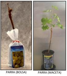 Planta de vid de vivero en bolsa y en maceta