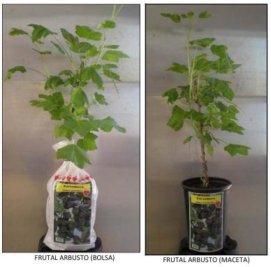 Planta arbusto frutal-zarzamora-grosellero-frambueso de vivero