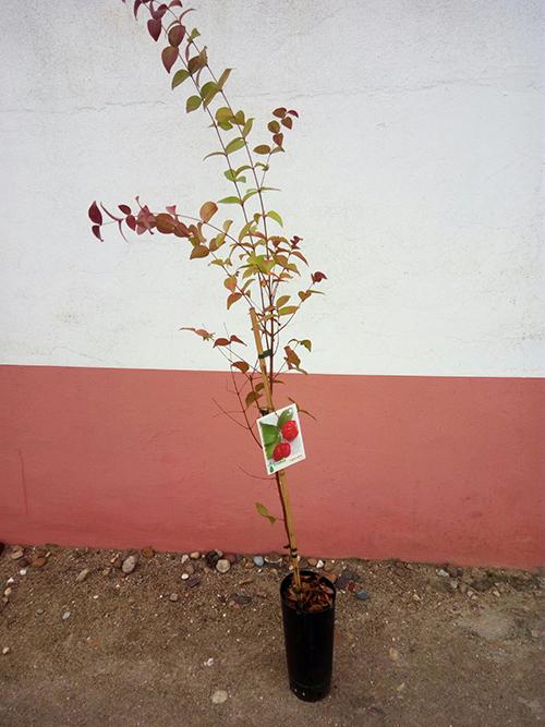 pitanga eugenia uniflora