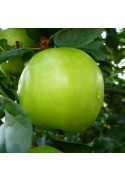 Manzano Granny Smith