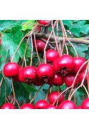 Acerolo rojo
