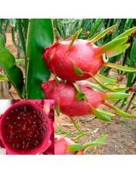 planta pitaya roja