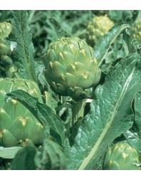 Alcachofa Imperial star, 1000 semillas