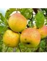 Manzano variedad Verde Doncella