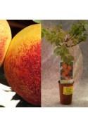 Nectarino enano en maceta
