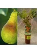 Frutales enanos en maceta