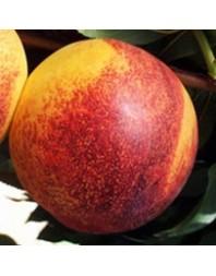 Nectarina variedad Big top