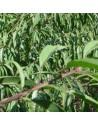 patrones portainjertos frutales