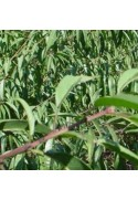 Portainjertos (Patrones) de frutales