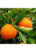Plantones de naranjo