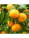 Plantones de mandarino