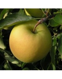 Manzano Golden delicious