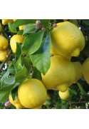 Limonero variedad Eureka