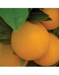 naranjo variedad Navelina