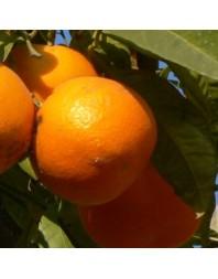 Naranjo variedad Fukumoto