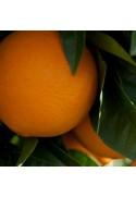 Naranjo variedad Valencia Midknight seedless