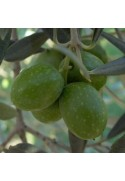 Olivo variedad Hojiblanca
