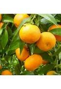 Clementino variedad Oronules