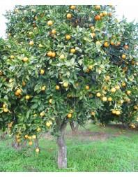 Naranjo amargo (Citrus aurantium)