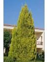 Cupressus macrocarpa 'Gold Crest'