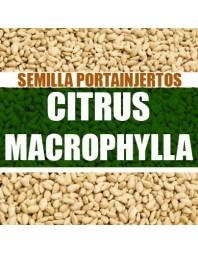 Citrus macrophylla